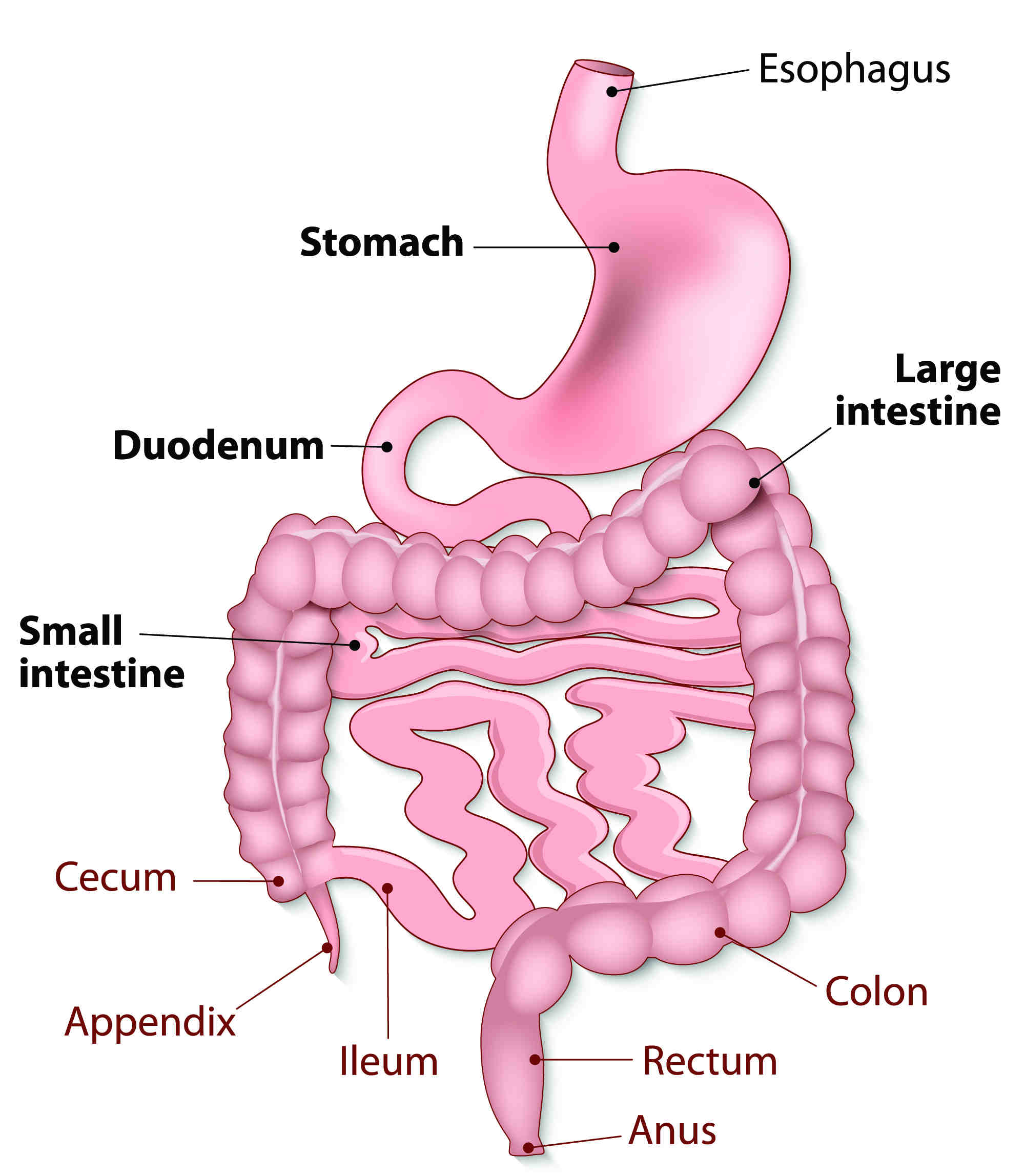 human digestive system is a single tube